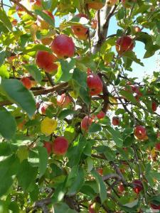 Продам оптом яблоки из собственного сада