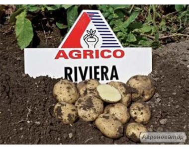 Насіннєва картопля Рів'єра