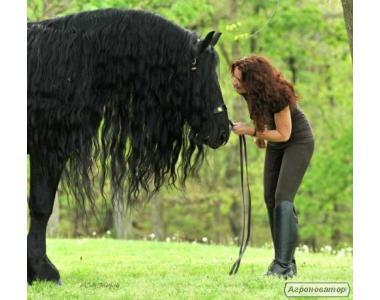 Великолепные Фризские лошади на новый год