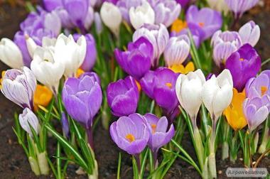 Продам шикарні примули і тюльпан до 8му Березня!