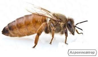 Продам бджоломатки Бекфаст