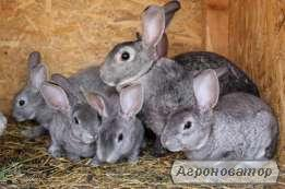 кролики породи Рекс
