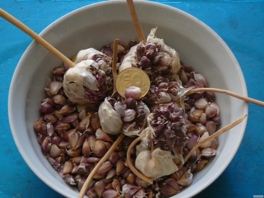 Продаю семена чеснока (воздушка). Сорт Любаша