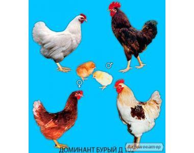 Мясо-яичные куры порода Доминант