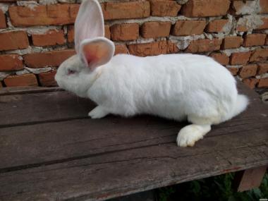 Продам кролики Бельгийский великан белый.