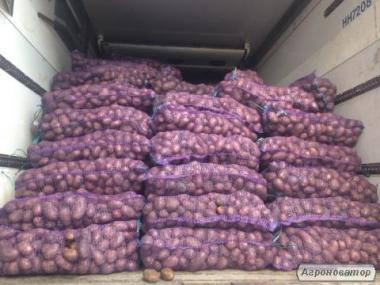 картоплю оптом не дорого