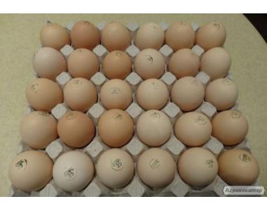 Яйца инкубационные курей бройлеров КОББ-500