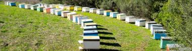 Пчеломатки Бакфаст 2018