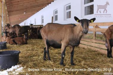 Взрослые козы Альпийской породы. Выбраковка из основного стада.