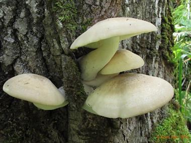 Міцелій Гливи ильмовой / Буковий гриб (Hypsizygus ulmarius)