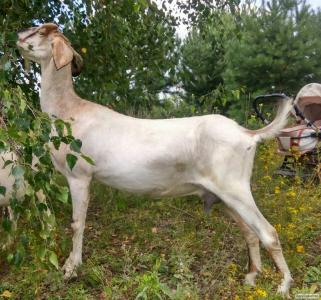 дійна нубійська коза
