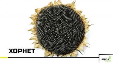 Хорнет, простой гибрид (вегетационный период 100 дней)