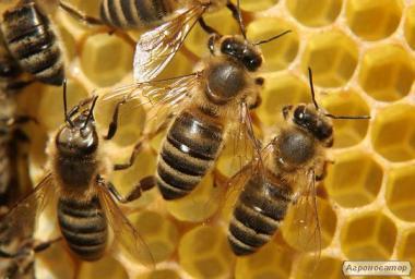 Продам бджолопакети Карпатка 4рр 100 шт.
