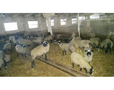 Племрепродуктор по разведению романовской овцы