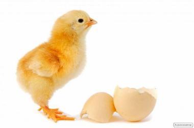 Цыплята, утята, индюшата, гусята