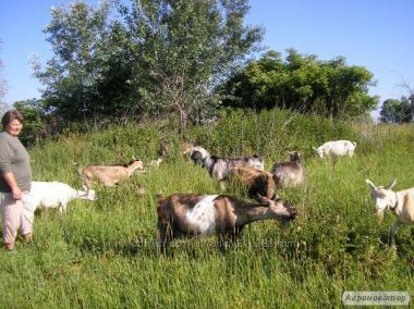 Козий творог органический как масло со сливками самый целебный