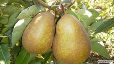 Саджанці груші сорту Анжеліс, від виробника