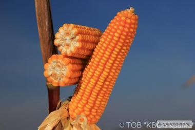 Насіння кукурудзи Еміліо від виробника КВС (KWS)