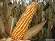 Семена кукурузы ВН 63 (ВНИС)