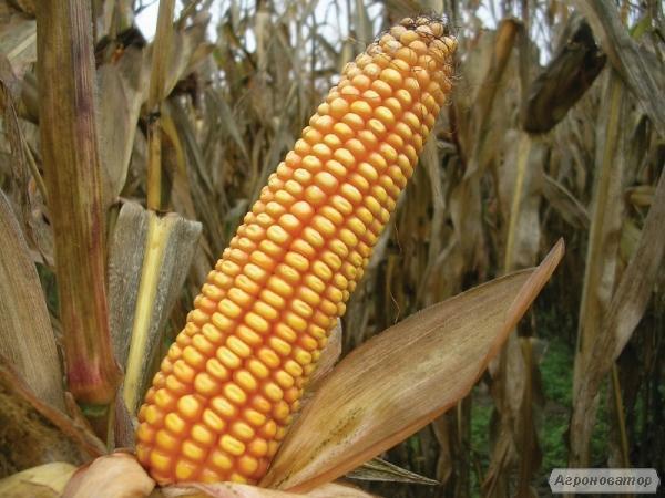 Насіння кукурудзи ВН 63 (ВНІС)