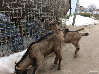 Продам двох козлів породи (Ламанча та Альпійський