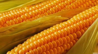 Амарок новий гібрид кукурудзи