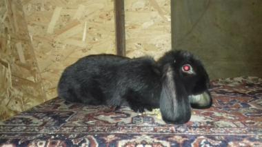 Продам кроликів породи Французький баран