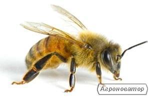 Реализация плодных пчеломаток Карпатка с Западной Украины