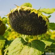 Насіння соняшнику МАС_86OL