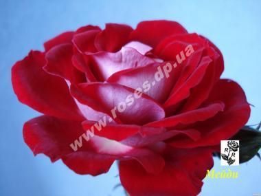 Бордюрные розы