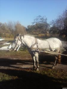 Лошадь 5 лет.