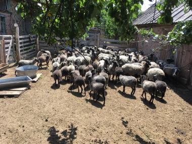 Продам стадо романівських овець дорого