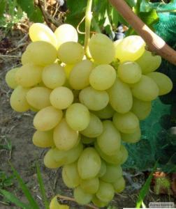 Привитые саженцы винограда