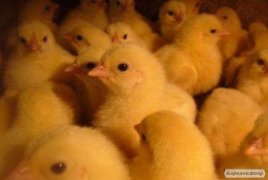 Суточные Цыплята бройлеры КОББ 500