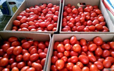 продам помідор (сливка) оптом з поля!!!