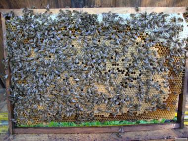 Продам пчелопакеты в Хмельницком