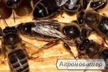 Продам бджоломатки карпатської породи 2017р