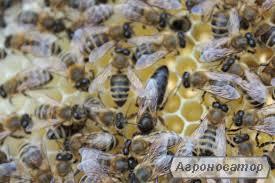 Продам пчеломатки карпатской породы 2017г