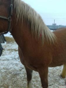 Продам лошадь тяжеловес