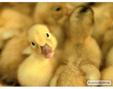 Комбікорм для качок і гусей старт 1-21день