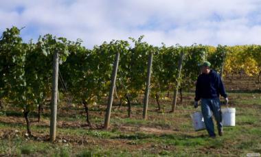 Домашні вина Одеське чорне, Каберне, Мерло, Купажне