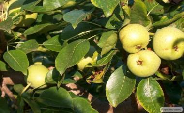 Саджанці груші сорту Золотиста, від виробника
