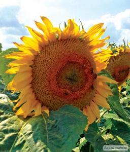 Насіння соняшнику 8Н358КЛДМ від виробника Дау Сідс (Dow Seeds)