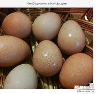 Инкубационные яйца и молодняк племенных цесарок