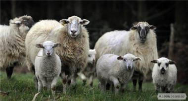 Продам барашек, овцематок, ягнят 2015г.