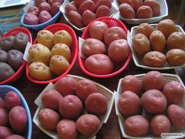 Продаю столовый крупный  картофель