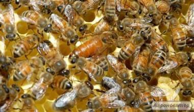 Пчелиные матки Итальянской породы Ф1 (пчеломатки)