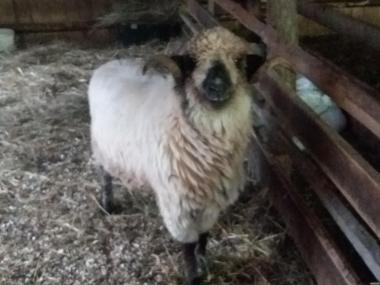 Продаю овцы, бараны румынские, turcane.