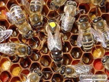 Бджоломатки (пчеломатки, матки)Бакфаст та Карпатка #2018