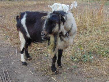 козел ламанча